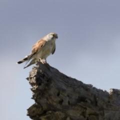 Falco cenchroides (Nankeen Kestrel) at Michelago, NSW - 9 Mar 2020 by Illilanga
