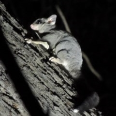 Petaurus breviceps (Sugar Glider) at Mulligans Flat - 15 Mar 2020 by michaelb