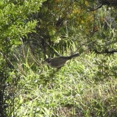 Melithreptus brevirostris (Brown-headed Honeyeater) at Illilanga & Baroona - 27 Jul 2009 by Illilanga
