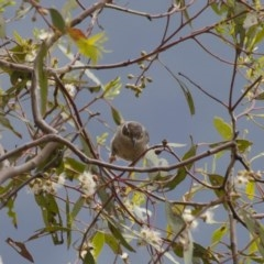 Melithreptus brevirostris (Brown-headed Honeyeater) at Illilanga & Baroona - 22 Jan 2012 by Illilanga