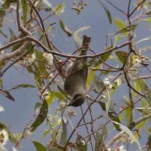 Melithreptus brevirostris at Illilanga & Baroona - 22 Jan 2012
