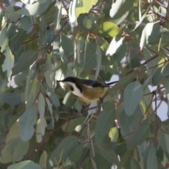 Acanthorhynchus tenuirostris (Eastern Spinebill) at Michelago, NSW - 2 Aug 2019 by Illilanga