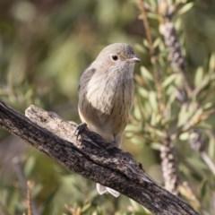 Pachycephala rufiventris (Rufous Whistler) at Michelago, NSW - 9 Mar 2020 by Illilanga