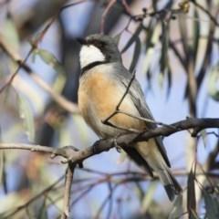 Pachycephala rufiventris (Rufous Whistler) at Michelago, NSW - 21 Oct 2019 by Illilanga