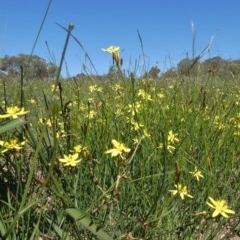 Tricoryne elatior (Yellow Rush Lily) at Tuggeranong Hill - 17 Mar 2020 by Owen