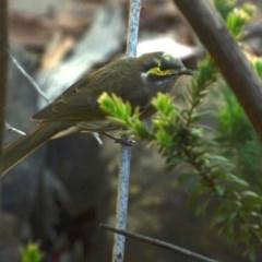 Caligavis chrysops (Yellow-faced Honeyeater) at Greenleigh, NSW - 22 Mar 2020 by LyndalT