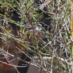 Malurus cyaneus (Superb Fairywren) at Greenleigh, NSW - 22 Mar 2020 by LyndalT