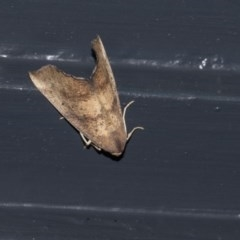 Mnesampela privata (Autumn Gum Moth) at Higgins, ACT - 19 Mar 2020 by AlisonMilton