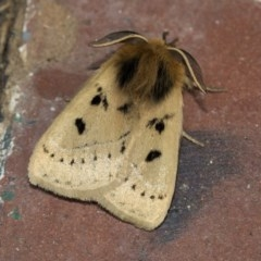Anthela ocellata (Eyespot anthelid moth) at Higgins, ACT - 19 Mar 2020 by AlisonMilton
