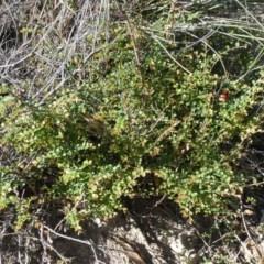 Bossiaea buxifolia (Bush Pea) at Tuggeranong Hill - 21 Mar 2020 by Owen