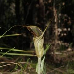 Diplodium aestivum (Long-tongued summer greenhood) at Brindabella National Park - 21 Mar 2020 by shoko