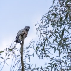 Callocephalon fimbriatum (Gang-gang Cockatoo) at Penrose - 18 Mar 2020 by Aussiegall