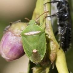 Ocirrhoe unimaculata (Green Stink Bug) at Michelago, NSW - 14 Dec 2019 by Illilanga