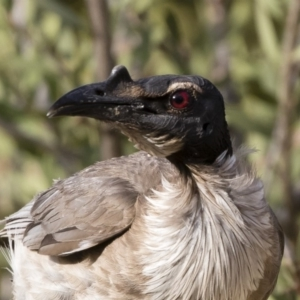 Philemon corniculatus at Michelago, NSW - 19 Dec 2019