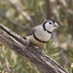 Taeniopygia bichenovii (Double-barred Finch) at Illilanga & Baroona - 20 Dec 2019 by Illilanga