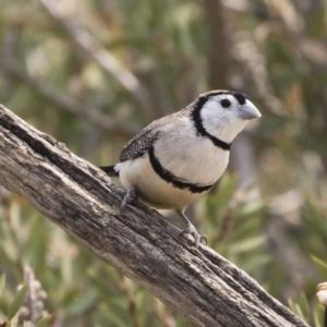 Taeniopygia bichenovii at Michelago, NSW - 21 Dec 2019