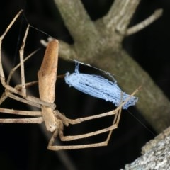 Deinopis sp. (Net casting spider) at Bannister Point Rainforest Walking Track - 20 Mar 2020 by jbromilow50