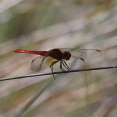 Orthetrum villosovittatum (Fiery Skimmer) at Garrad Reserve Walking Track - 20 Mar 2020 by jbromilow50