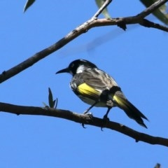 Phylidonyris novaehollandiae (New Holland Honeyeater) at Garrad Reserve Walking Track - 20 Mar 2020 by jbromilow50
