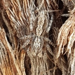 Clynotis severus (Stern Jumping Spider) at Bruce Ridge - 23 Mar 2020 by tpreston