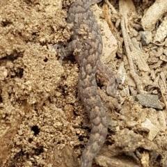 Christinus marmoratus (Southern Marbled Gecko) at - 23 Mar 2020 by tpreston