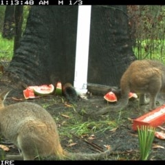 Macropus rufogriseus (Red-necked Wallaby) at Basin View, NSW - 14 Mar 2020 by simon.slater