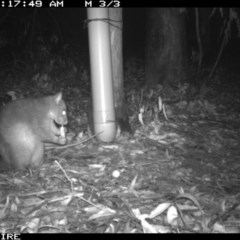 Trichosurus cunninghami (TBC) at Tomerong, NSW - 9 Mar 2020 by simon.slater