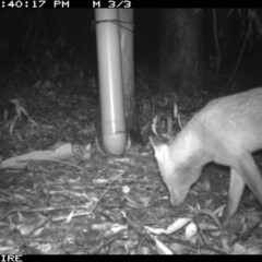 Vulpes vulpes (Red Fox) at Tomerong, NSW - 11 Mar 2020 by simon.slater