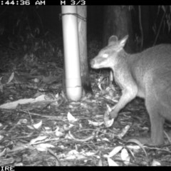 Wallabia bicolor (Swamp Wallaby) at Tomerong, NSW - 13 Mar 2020 by simon.slater