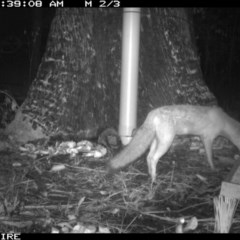 Vulpes vulpes (Red Fox) at Basin View, NSW - 10 Mar 2020 by simon.slater