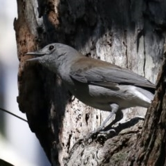 Colluricincla harmonica (Grey Shrike-thrush) at Garrad Reserve Walking Track - 20 Mar 2020 by jbromilow50