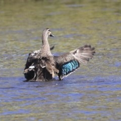 Anas superciliosa (Pacific Black Duck) at Dickson Wetland - 20 Mar 2020 by Alison Milton