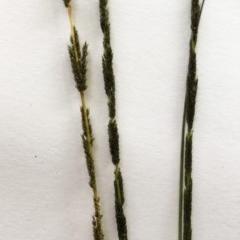 Sporobolus sp. (A rat's tail grass) at Hughes Garran Woodland - 23 Mar 2020 by ruthkerruish
