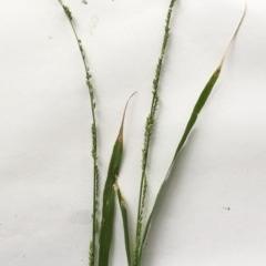 Ehrharta erecta (Panic Veldtgrass) at Hughes, ACT - 7 Mar 2020 by ruthkerruish