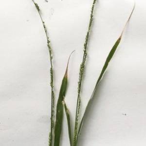 Ehrharta erecta at Hughes Garran Woodland - 8 Mar 2020