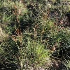 Sorghum leiocladum (Wild Sorghum) at Hughes Garran Woodland - 18 Mar 2020 by ruthkerruish