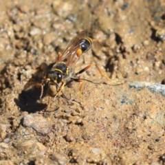 Sceliphron formosum (Formosum mud-dauber) at Dickson Wetland - 20 Mar 2020 by AlisonMilton