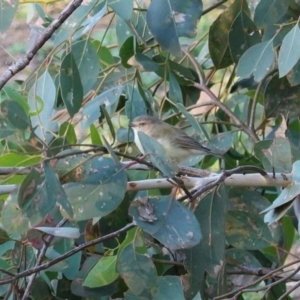 Smicrornis brevirostris at Red Hill Nature Reserve - 20 Mar 2020