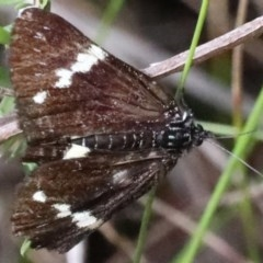 Platagarista macleayi (Macleays Day Moth) at Wairo Beach and Dolphin Point - 21 Mar 2020 by jbromilow50