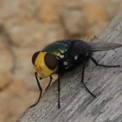 Amenia (imperialis group) (Snail Parasitic Blowfly) at Mollymook Beach, NSW - 21 Mar 2020 by jbromilow50