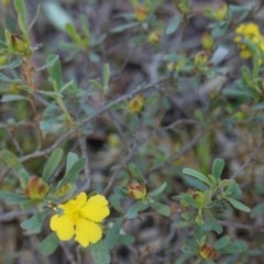 Hibbertia obtusifolia (Grey Guinea-flower) at Red Hill Nature Reserve - 23 Mar 2020 by JackyF