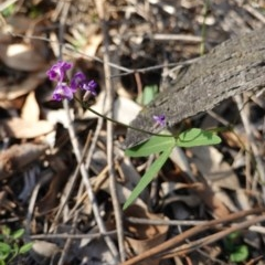 Glycine tabacina (Variable Glycine) at Red Hill Nature Reserve - 23 Mar 2020 by JackyF