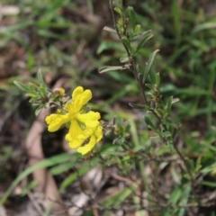Hibbertia obtusifolia (Grey Guinea-flower) at Mongarlowe River - 23 Mar 2020 by LisaH