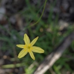Tricoryne elatior (Yellow Rush Lily) at Federal Golf Course - 23 Mar 2020 by JackyF