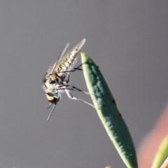 Geron sp. (genus) (Slender Bee Fly) at ANBG - 12 Mar 2020 by AlisonMilton