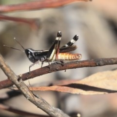 Macrotona australis (Common Macrotona Grasshopper) at ANBG - 12 Mar 2020 by AlisonMilton