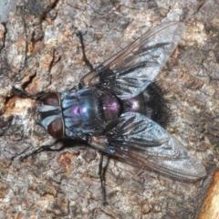 Rutilia (Donovanius) sp. (genus & subgenus) (A Bristle Fly) at The Pinnacle - 23 Mar 2020 by Harrisi