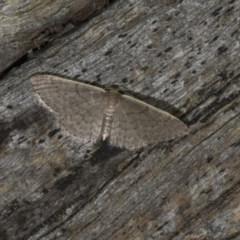 Idaea (genus) (A Geometer Moth) at Black Mountain - 9 Nov 2017 by GlennCocking