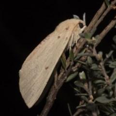 Plesanemma fucata (Lemon Gum Moth) at Paddys River, ACT - 15 Mar 2018 by GlennCocking