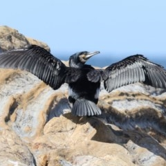 Phalacrocorax carbo (Great Cormorant) at Batemans Marine Park - 22 Mar 2020 by jbromilow50